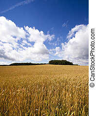 agricultural field - a field on which mature wheat grows.
