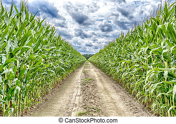 Agricultural field, corn