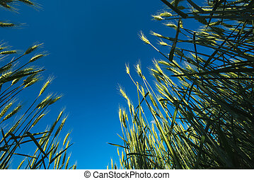 Agricultural field of barley crops, low angle view