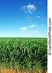 agricultural field of green wheat, blue sky