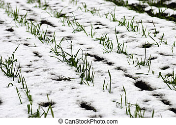 agricultural field of winter wheat under the snow close-up