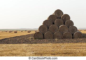 wheat, close up