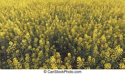 Agricultural field with blooming yellow rape. Aerial view