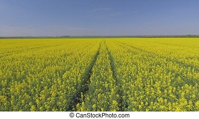 Agricultural field with blooming yellow rape, against the blue sky. Aerial view