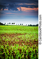 Agricultural field with green sprouts of wheat