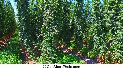 Agricultural field with hops - Field with growing green...