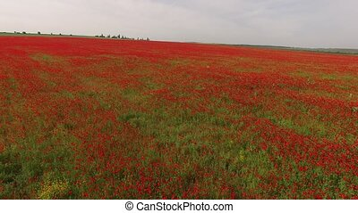 Agricultural Field With Poppy Flowers