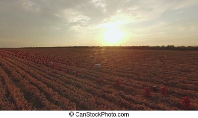 Agricultural Fields With Sacks At Sunset