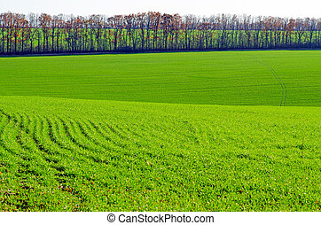 Agricultural fields with winter wheat, young green shoots of a cultivated plant