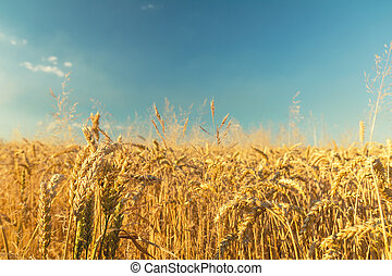 Agricultural fragmental panorama of the wheat field. Ripe...