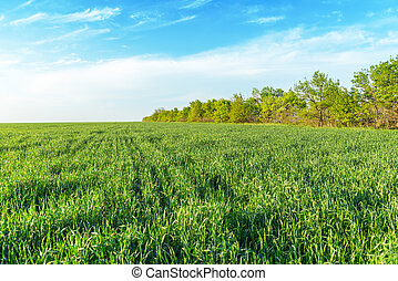 agricultural green grass field and blue sky