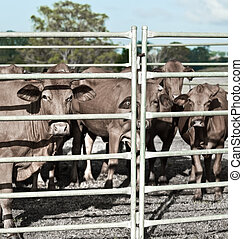 agricultural industry restrained beef cattle in corral ready for market