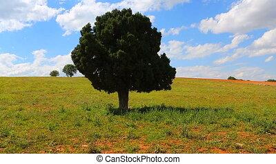 Agricultural land timelapse - Lonely tree and timelapse in...