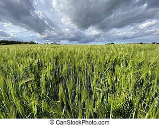 Agricultural land with a crop of barley - Yorkshire - United Kingdom