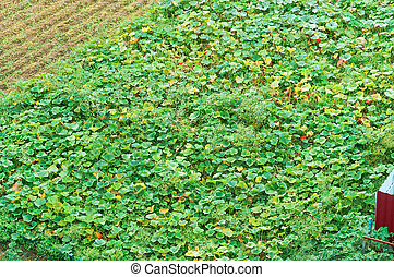 agricultural land with planting, pumpkin field