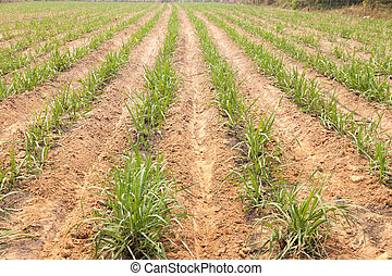 Agricultural lands for sugarcane cultivation - Local farmers...