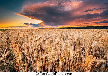 Agricultural Landscape With Field Of Yellow Young Wheat ...