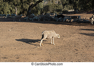 agricultural landscapes with sheep in the countryside in southern Andalusia with a clear sky in spain