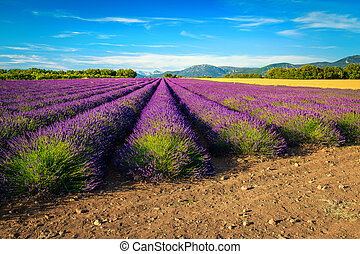 Agricultural place with purple lavender fields in Provence, ...