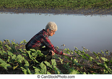 Agricultural scene, farmer in sunflower field after flood