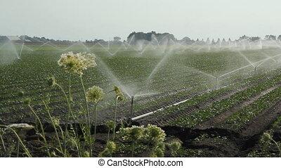Agricultural sprinklers. - Sprinklers irrigate a vegetable...