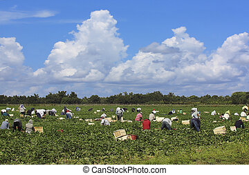Agricultural workers - 2 - Agricultural workers harvesting...