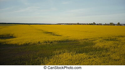 Agricultural yellow rape blooming field flyover. Ripe canola...