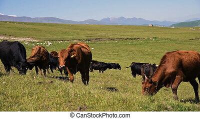 agriculture, été, noir, paître, vert, ensoleillé, vaches, ...