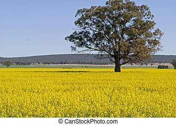 a lone gum tree in a field of canola