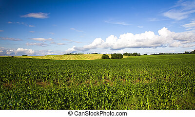 Agricultural field on which grow up corn