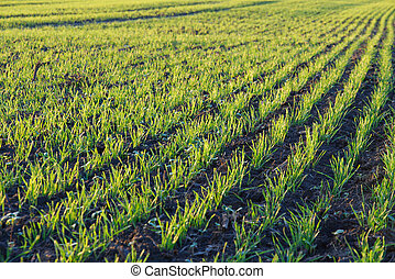 Agriculture - Agricultural field with rows of small plants