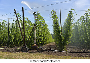 Agriculture and farming of grain hops in Oregon.