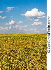 Agriculture bean cultivation. Yellow field in August