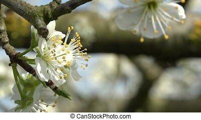 Agriculture, beautiful blosoming plum fruit trees in...