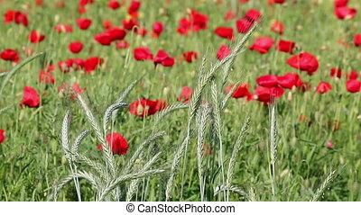agriculture, blé, vert, printemps
