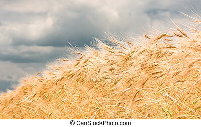 agriculture, champ blé, or, oreilles