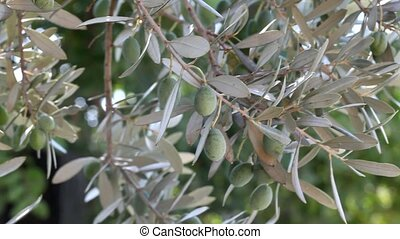Agriculture - Close up of olives at tree branch