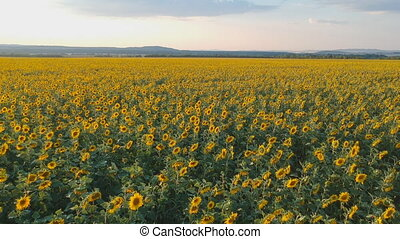 Agriculture concept. Aerial shooting field of sunflowers in...
