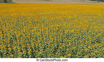 Agriculture concept. Sunflower field in sunny day. Drone...