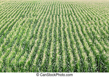 Agriculture, corn field