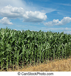 Agriculture, corn field with beautiful sky