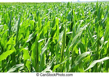 agriculture corn plants field green plantation