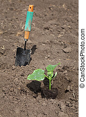 Agriculture, cucumber plant in spring - Planting of cucumber...