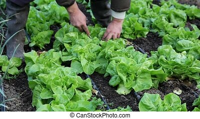 Agriculture - Farmer cutting fresh lettuce in a greenhouse