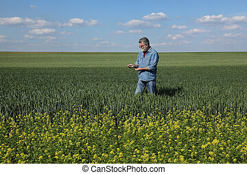 Agriculture, farmer examining wheat field with rapeseed plants in front