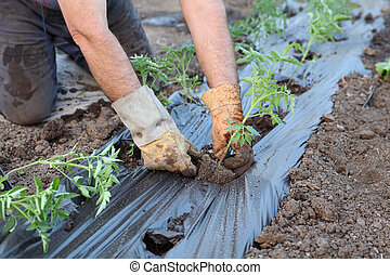 Agriculture - Farmer planting tomato seedlings in a...