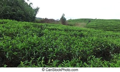 tea plantation field on Sri Lank - agriculture, farming and...