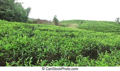 tea plantation field on Sri Lanka - agriculture, farming and...