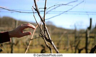 pruning vines - Agriculture, farmland, vineyards. Farmer...