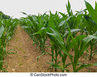 Agriculture, field of maize